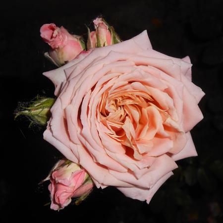 Rosa antico colore rosa antico colore with rosa antico for Rose color rosa antico